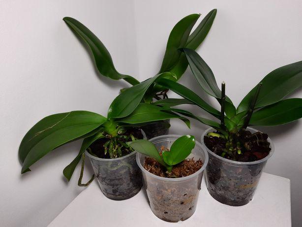 Сортовые орхидеи фаленопсис (бесплатная доставка)