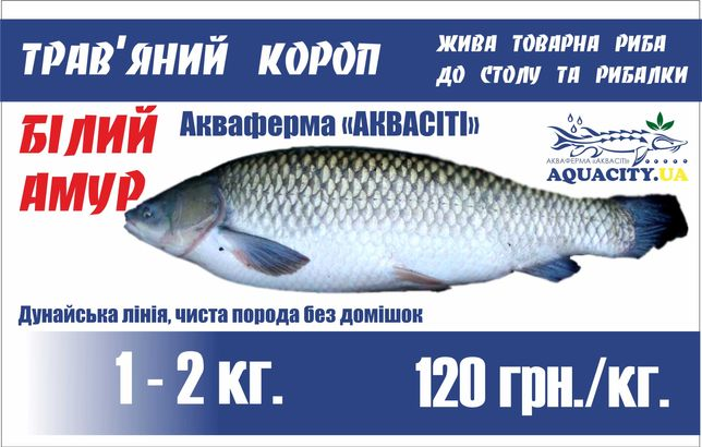 Білий амур (белый амур) жива риба