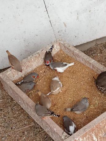 Papugi,zeberki przepiorki kalifornijskie