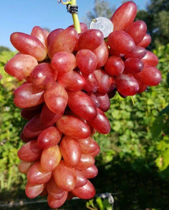 !!! Саженцы винограда по ОПТОВЫМ ценам с доставкой по УКРАИНЕ !!! Балки - изображение 1