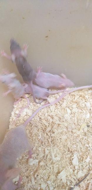 Łyse myszki