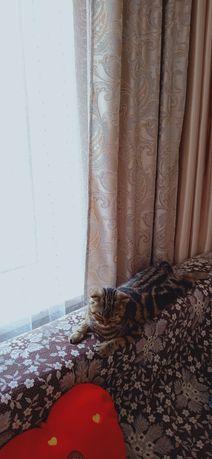 Кошечка Скоттиш Страид