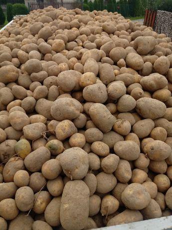 Ziemniaki jadalne sortowane i niesortowane