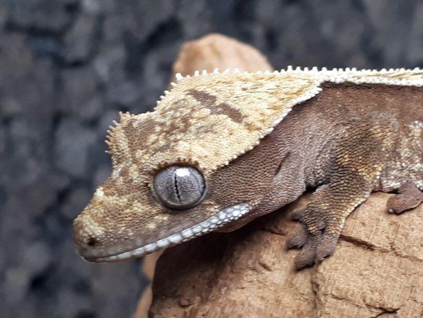 Gekon orzęsiony C. ciliatus