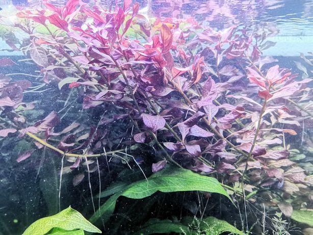 Ludwigia repens 'Rubin' – Planta aquática vermelha