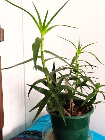 Planta natural cana