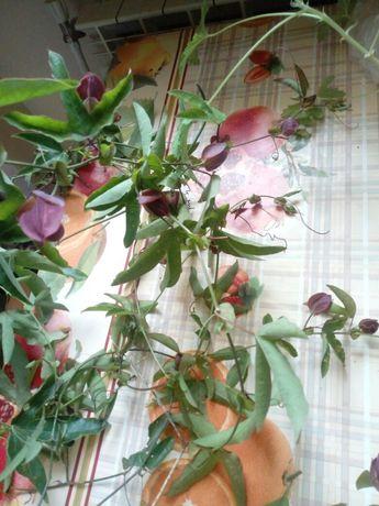 Passiflora Victoria purple haze błękitna jadalna sadzonka