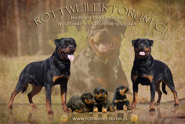 Rottweiler szczenięta rodowodowe FCI/ZKwP Toruń