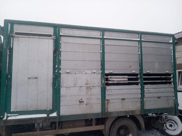Krowa ,jałówka ,opasy TRANSPORT