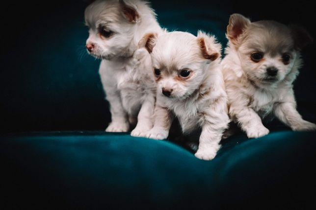 Chihuahua długowłosa szczeniaki