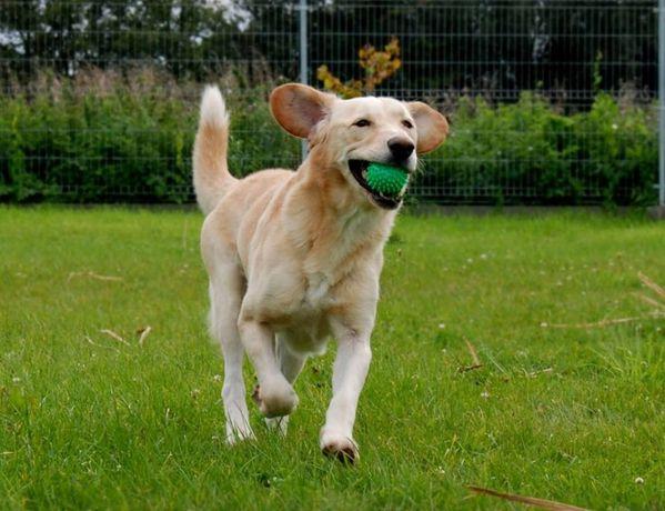 Fenix - łagodny i nieśmiały; dogaduje się z większością psów