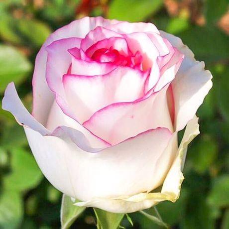 Саженцы роз (Дольче вита)