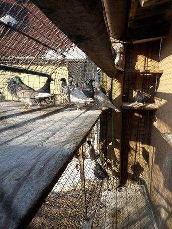 Gołębie pocztowe andaluzy i inne