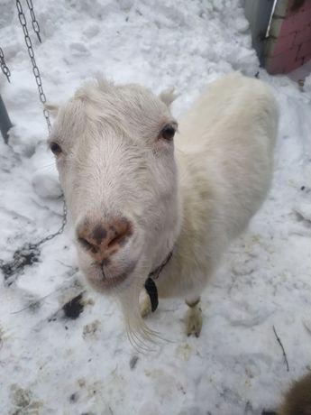 коза породи ламанча білого окрасу кітна має окотитися в травні буде др