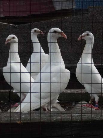 Продаються голуби московські білі