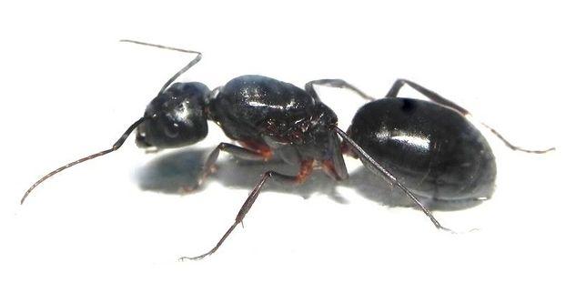 Camponotus cecconi Mrówki - Q 2020 + 5-10 robotnic