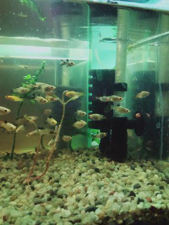 Młode molinezje rybki zdrowe