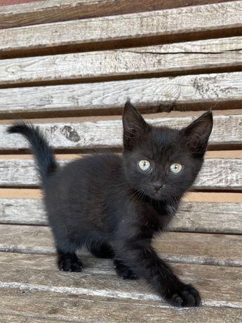 Віддам котика в хороші руки | дівчинка, 1 місяць