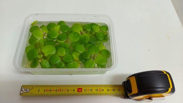Limnobium Laevigatum (frogbit)