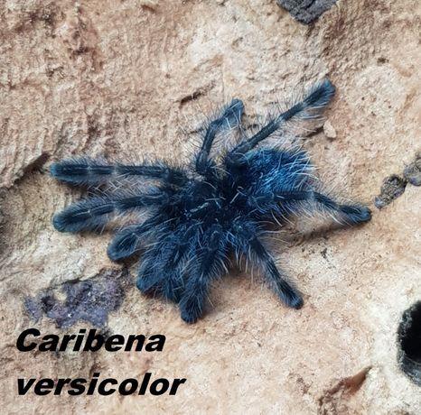 Caribena versicolor Ptasznik wielobarwny -pełna lista pająków w opisie