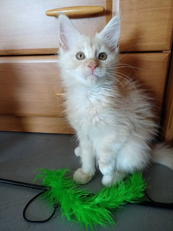 Kremowa kotka Maine coon