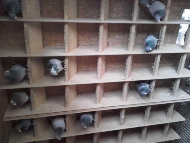 Likwidacja hodowli gołebi pocztowych