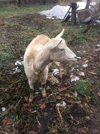 Коза на молоко безрогая