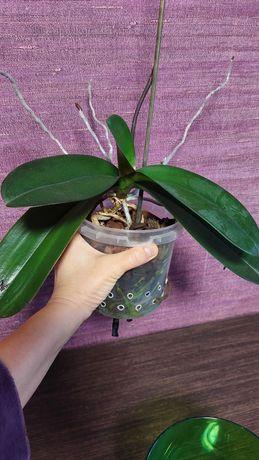 Орхидея домашняя Голден Бьюти ПРОДАНА