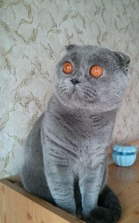 Шотландский вислоухий кот на вязку
