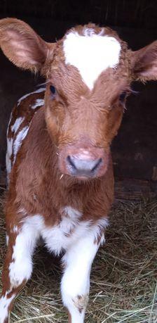 Продается телка на корову