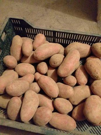 Ziemniaki / Bellarosa