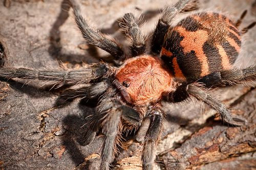 паук Davus fasciatus L 6- 7 самка