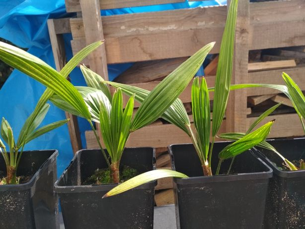 Palma mrozoodporna Trachycarpus Fortunei Bułgaria szorstkowiec