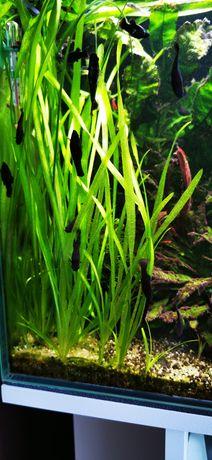 Nurzaniec/trawa akwariowa
