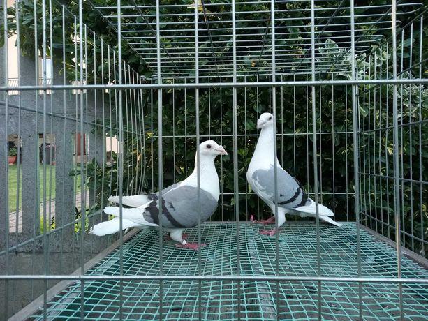 Gołębie Pocztowe Ozdobne Śląskie Tarczowe