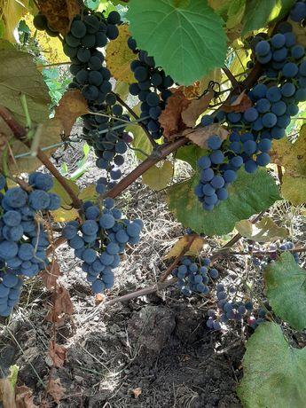 Саженцы технического винограда