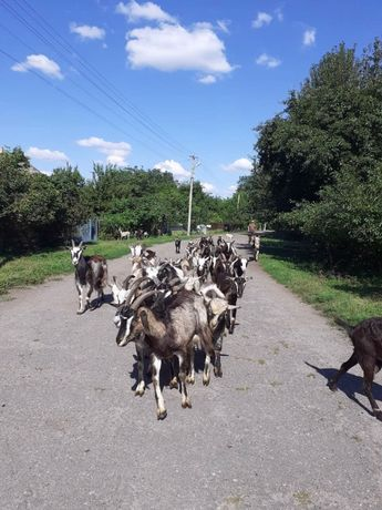 Продам козу. молодих дійних кіз