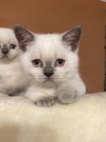 Koty Brytyjskie Kocurek Niebieski Kotka Niebieska