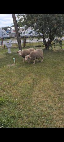 Sprzedam owce i tryki