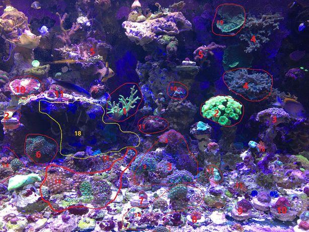 koralowce fluo soft/lps/sps Akwarium morskie