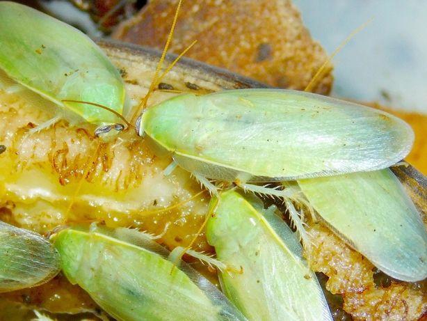 Karaczan zielony Panchlora nivea Karaczany zielone dorosłe