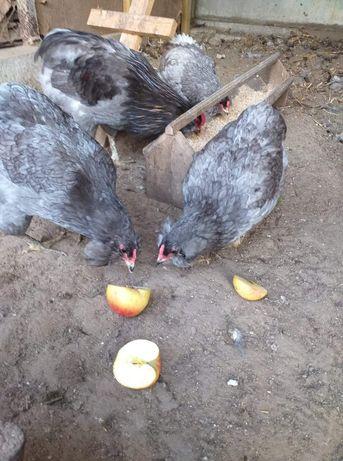 Araukana jaja lęgowe