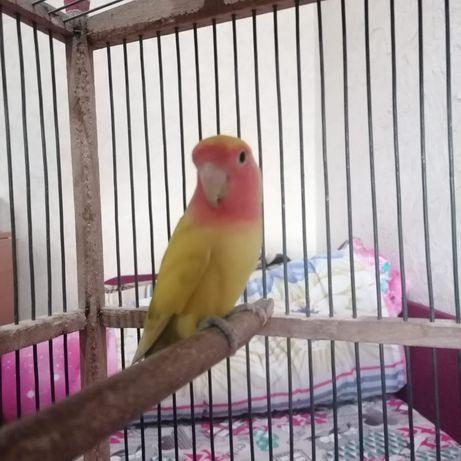 Неразлучники попугай