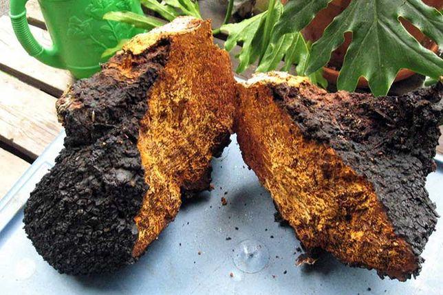 Продам Чагу, березовый гриб чага, трутовик цена за 1 кг