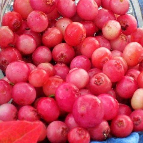 "Borówka ""Pink Lemonade"" 40cm 2 LETNIA Borówka Różowa CAC"