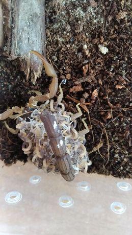 продам скорпионов Hottentotta hottentotta