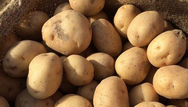 Ziemniaki Wineta Zdrowe, smaczne na oborniku kurzym. 15 kg = 8 zł