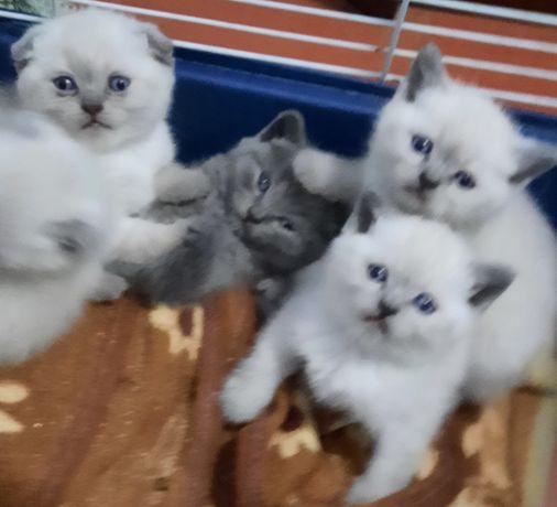 Готовятся к продаже шотландские котята.