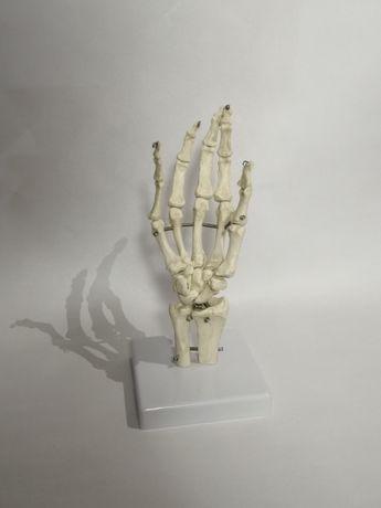 fantom medyczny model ręki kości