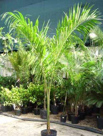 Palmeira imperial cubana Roystonea regia com 3,5m
